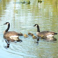 O.U.R. Ecovillage Canada Geese